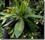 kaneel laurus cinnamomum